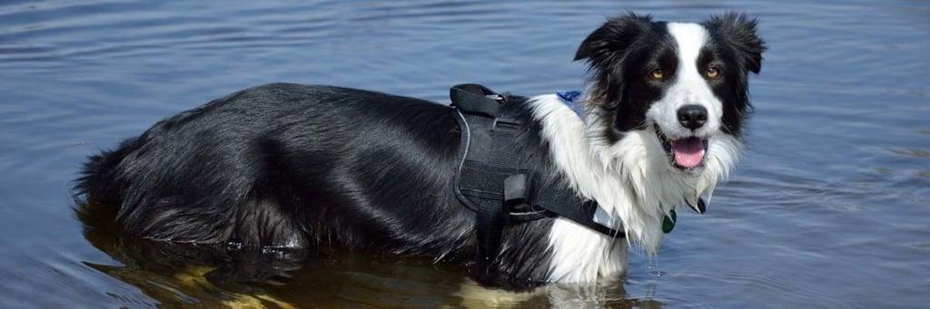 hund trägt hundeschwimmweste